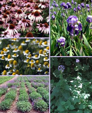 iasma piante officinali esperienze di coltivazione nelle