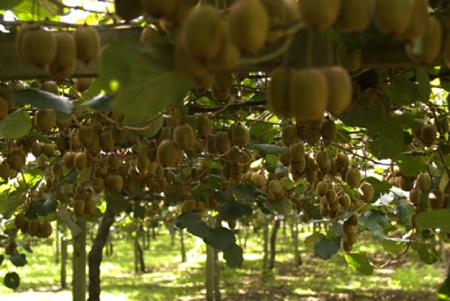 Tecnica colturale contenimento delle fisiopatie e dei for Kiwi pianta