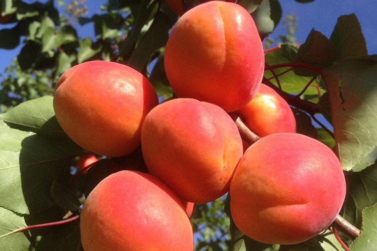 Psb Producción Vegetal, in arrivo tre nuove albicocche - Plantgest news sulle varietà di piante