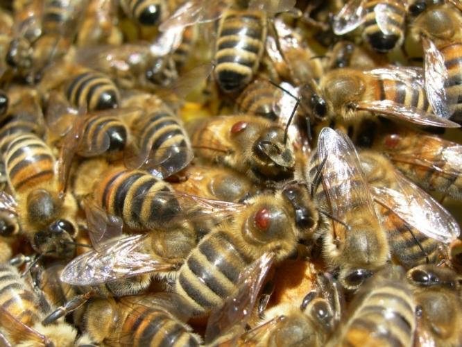 api-varroa-750-by-fondazione-edmund-mach.jpg