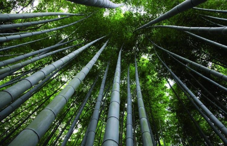 Bambu coltivazione