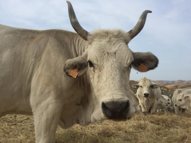 bovini-bovino-by-cristiano-spadoni-agronotizie-750.jpeg