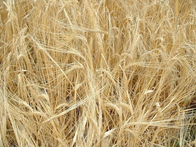 cereali-grano-duro-fonte-bmti.jpg