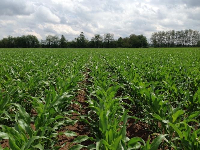 cereali-mais-campo-nascita-fonte-kws.jpg