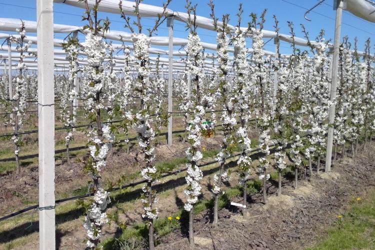 Salvi Vivai, ottima fioritura per le ciliegie della serie Sweet - Plantgest news sulle varietà di piante