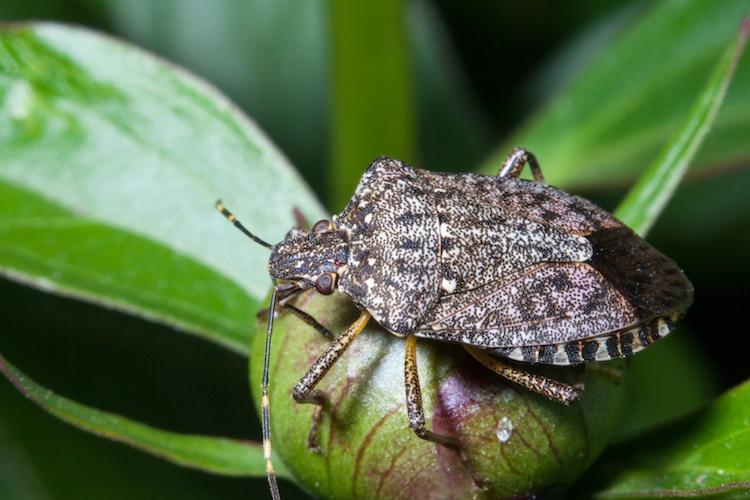 Cimice asiatica l 39 importanza del monitoraggio for Cimice insetto