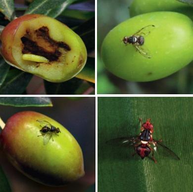 Risultati immagini per mosca dell'olivo