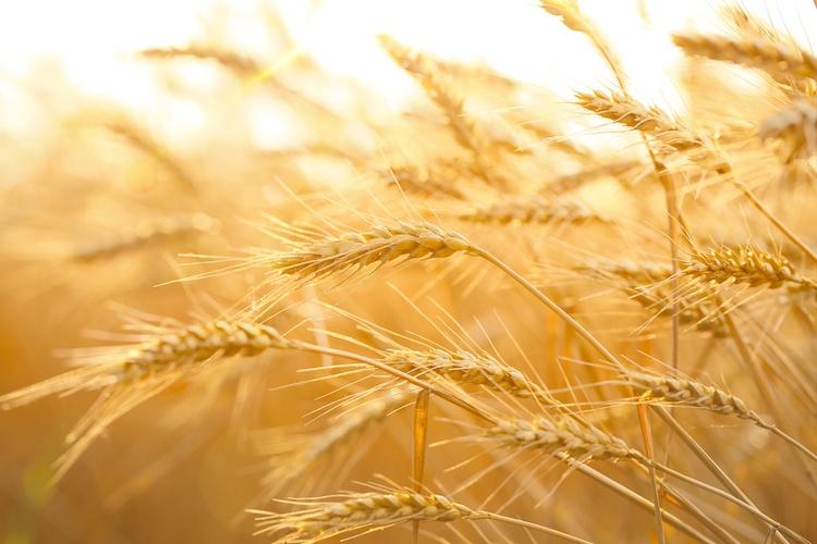 grano-spighe-by-lily-fotolia-750.jpg