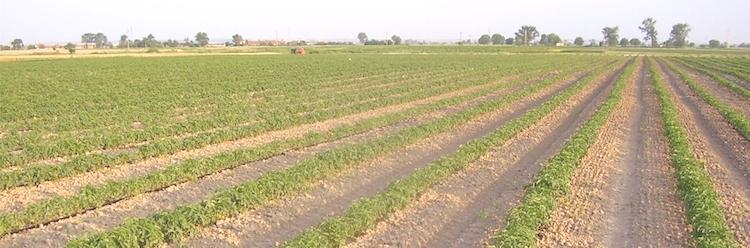 Irrigazione a goccia delle colture agrarie agronotizie for Gocciolatori per irrigazione a goccia