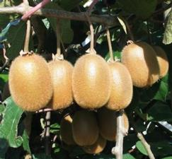 Batteriosi dell 39 actinidia patto italia cina agronotizie for Kiwi pianta