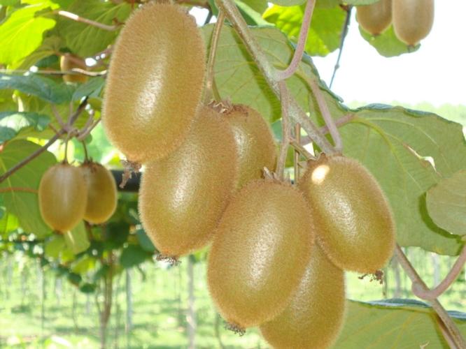 Jingold amplia la gamma kiwi con la variet&agrave; a polpa verde Boerica<sup>&reg;</sup> - Plantgest news sulle variet&agrave; di piante