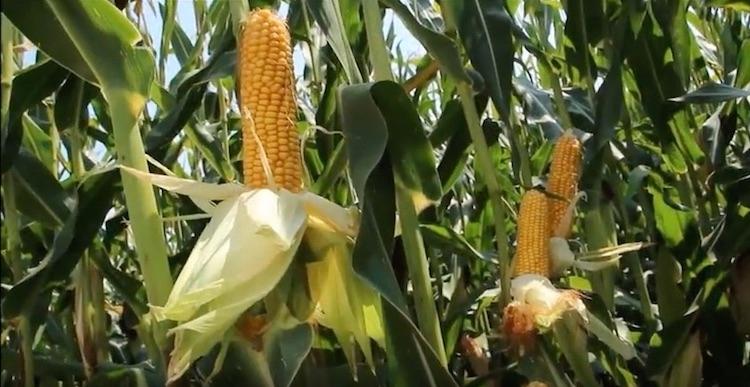 mais-cereali-cerealicoltura-fonte-kws.jpg
