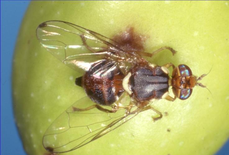 mosca-olivo-bactrocera-oleae-by-dipartimento-scienze-agrarie-universita-pisa-jpg.jpg