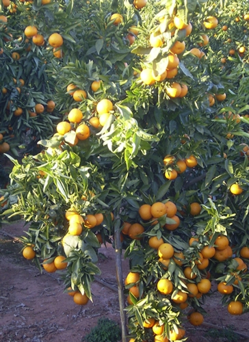 Netafim e l 39 irrigazione dell agrumeto agronotizie for Netafim irrigazione