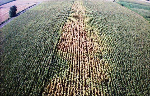 Mais l 39 importanza dell 39 irrigazione a goccia agronotizie for Netafim irrigazione