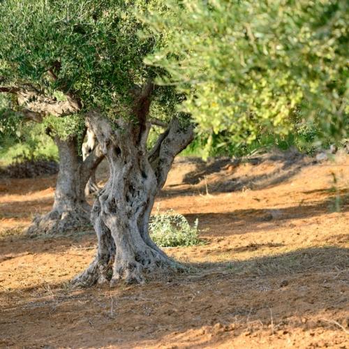 Xylella fastidiosa a rischio 23 mila ettari di uliveti for Vendita piante olivi