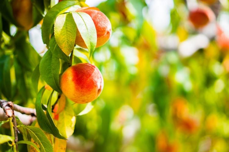 Vivai Quadrifoglio, un buon raccolto inizia da buone piante - Plantgest news sulle varietà di piante