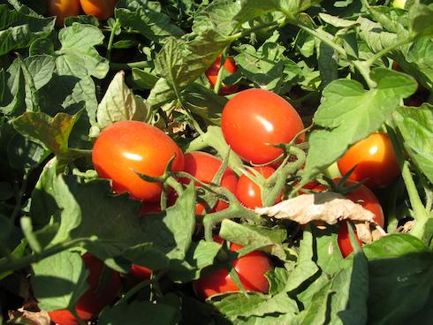 pomodoro-industria-fonte-donatello-sandroni.jpg