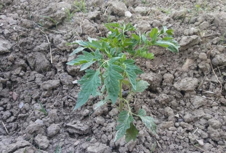 pomodoro-siccita-by-matteo-giusti-agronotizie-jpg.jpg
