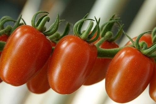 pomodoro-tomato-fonte-yara-italia-sito.jpg