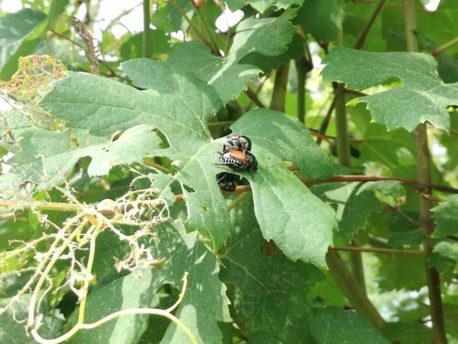 popillia-japonica-coleottero-foglie-vite-luglio-2017-fonte-barbara-righini.jpg