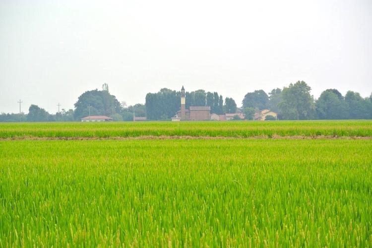 riso-risaia-lomellina-by-davide-delfrate-cassolnovo-pavia.jpg