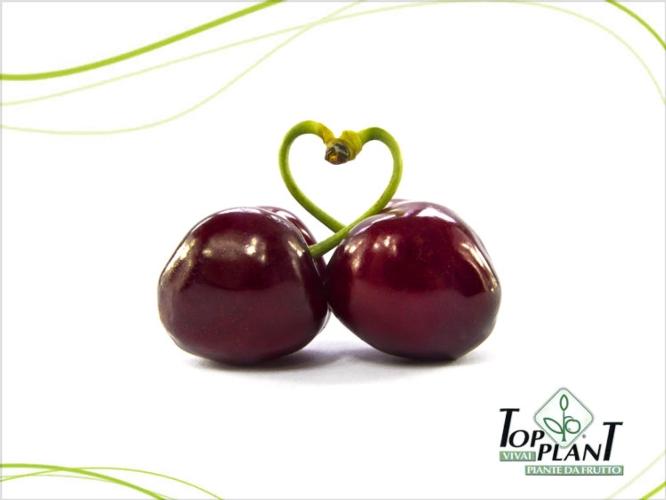 Vivai Top Plant, la rivoluzione della ciliegia - Plantgest news sulle varietà di piante