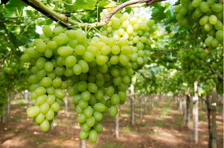 Uva da tavola la puglia vuole mantenere la leadership agronotizie vivaismo e sementi - Uva da tavola bianca ...