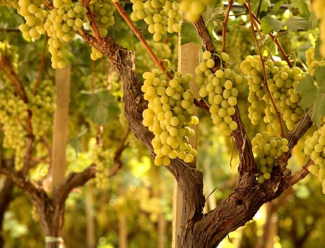 L 39 uva da tavola on line agronotizie vivaismo e sementi - Uva da tavola coltivazione ...