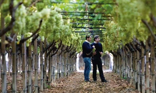 Magis per l 39 uva da tavola italiana agronotizie economia e politica - Uva da tavola puglia ...