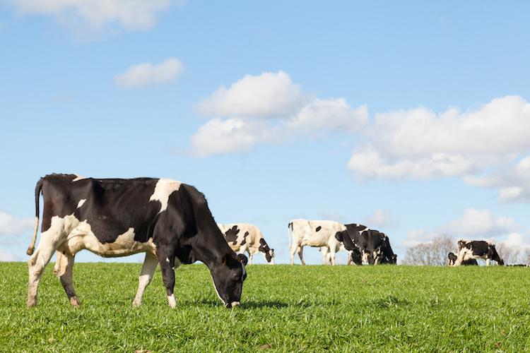 vacche-vacca-mucca-razza-holstein-by-gozzoli-fotolia-750.jpeg