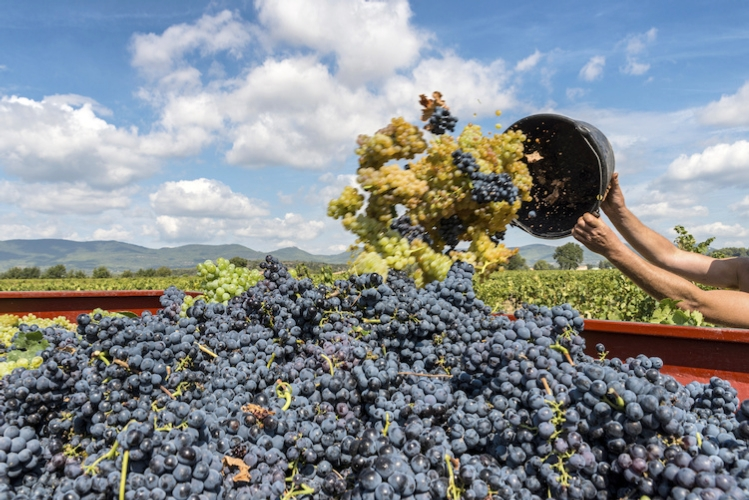 vendemmia-uva-vino-by-francis-bonami-fotolia-750.jpeg