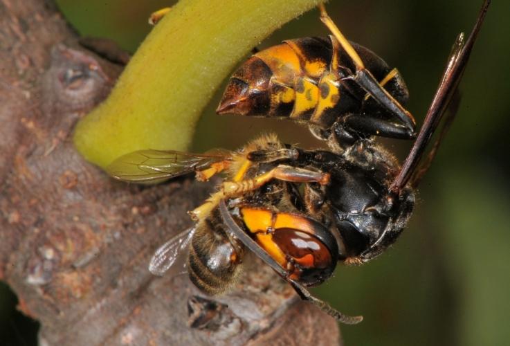 vespa-velutina-adulto-preda-by-antonio-felicioli-jpg