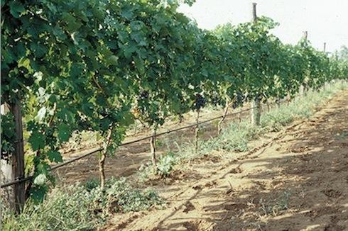 vite tutti i vantaggi dell 39 irrigazione automatica