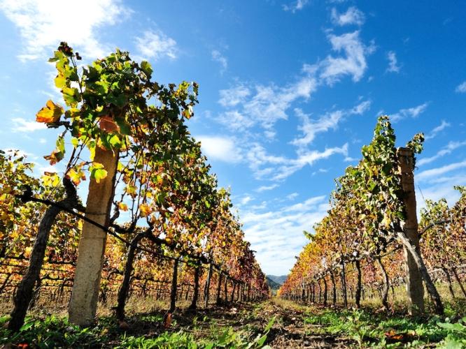vite-vigneto-vigna-vino-viticoltura-vitivinicoltura-by-francescomou-fotolia