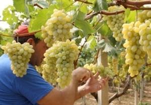 Uva precoce in Sicilia e Puglia, perché conviene - Plantgest news sulle varietà di piante