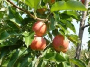 Mela Gala, giornata tecnica - Plantgest news sulle varietà di piante