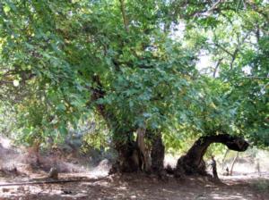 albero-noce-fonte-cnr