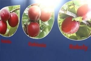 Rubyngo<sup>&reg;</sup>, le nuove albicocche rosse - Plantgest news sulle variet&agrave; di piante