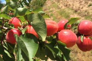 Vivai Escande, nuove cultivar per il mercato