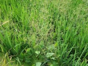 Autorizzazioni per usi di emergenza su riso
