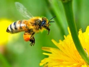 ape-corso-apicoltura-multifunzionale-fonte-fritegotto