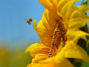 ape-girasole-impollinazione-by-laura-bortolotti-crea-api
