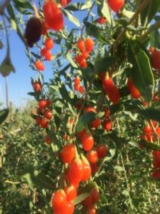 Le bacche di Goji da Sibari ai mercati europei - Plantgest news sulle varietà di piante