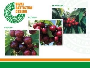 Ciliegio, i Vivai Battistini puntano su qualità e imprenditorialità - Plantgest news sulle varietà di piante