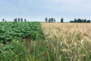 biodiversita-campo-agricoltura-grano-girasoli-by-ioabal-fotolia-750