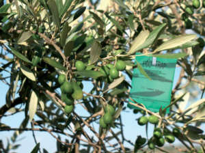 biogard-eco-trap-mosca-olivo