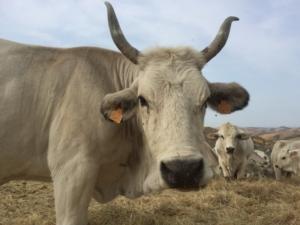 bovini-bovino-by-cristiano-spadoni-agronotizie-750