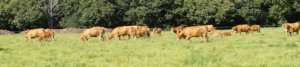 bovini-mucche-razza-limousine-by-jc-drapier-fotolia-750