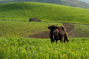 bovino-razza-modicana-by-ollirg-fotolia-750